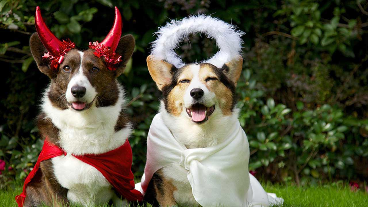 Dogs dressed in devil and angel Halloween costumes